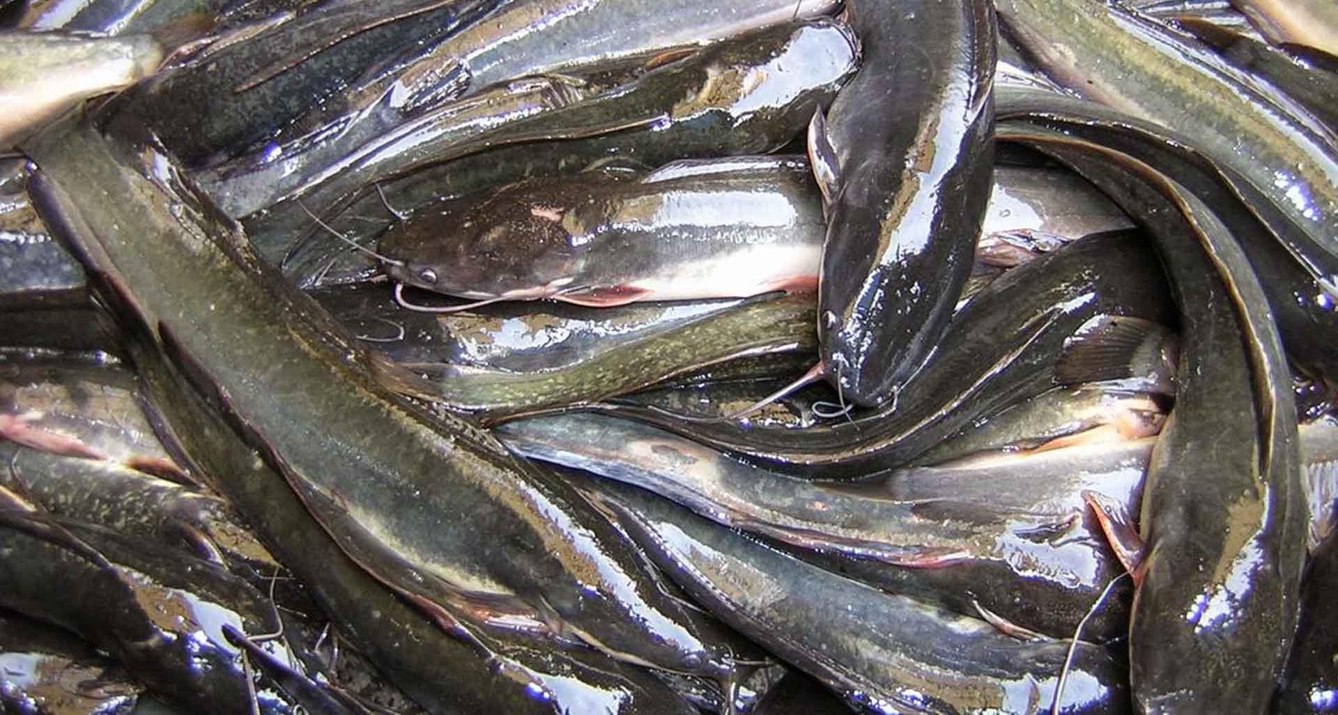 Ikan Lele Memiliki Kekebalan Tubuh yang Kuat