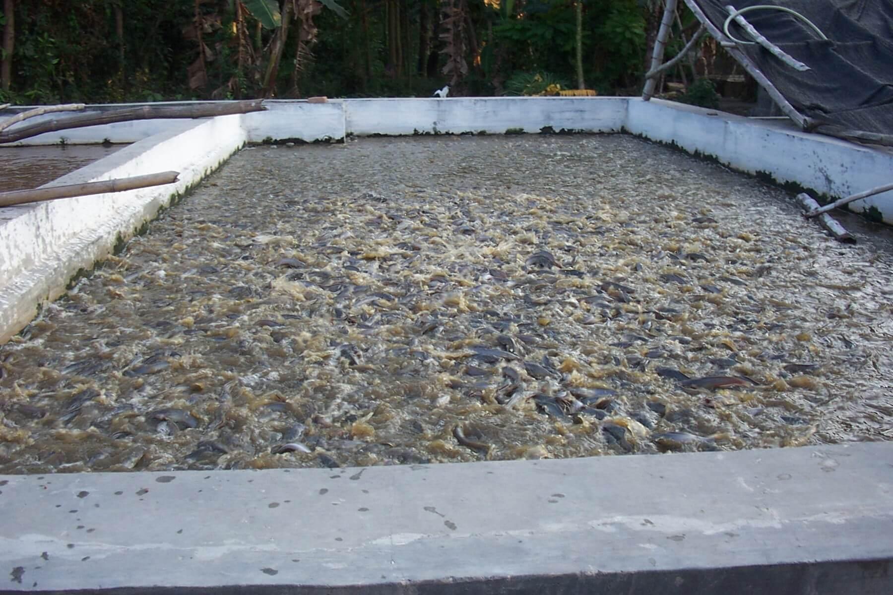 Cara Pengaturan Air Kolam Lele