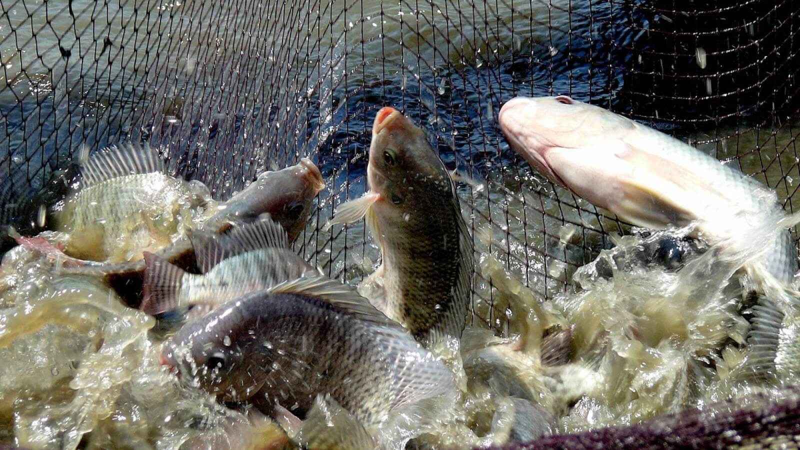 Biaya Operasional Budidaya Ikan Nila