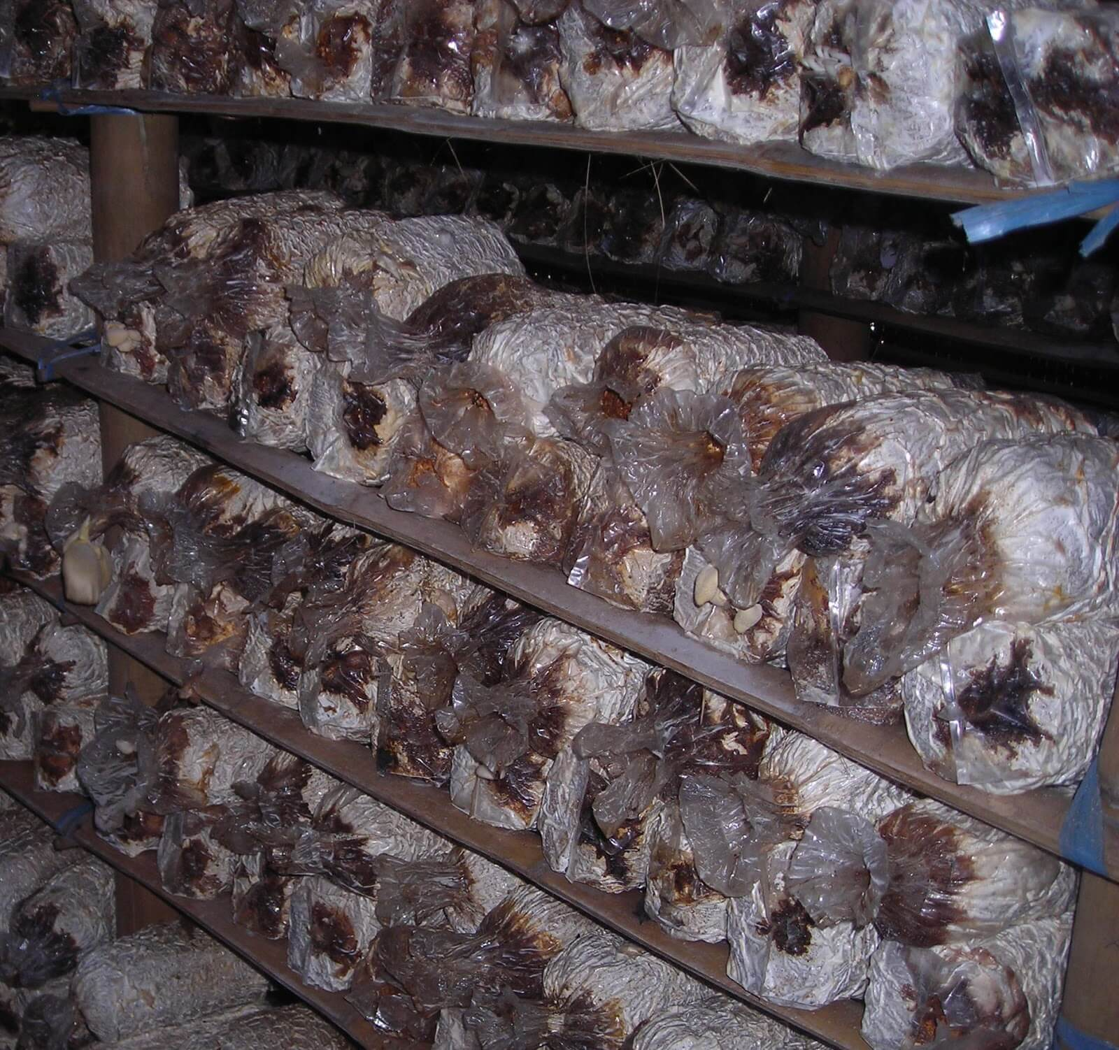 Penyakit Pada Jamur Tiram yang Sering Terjadi