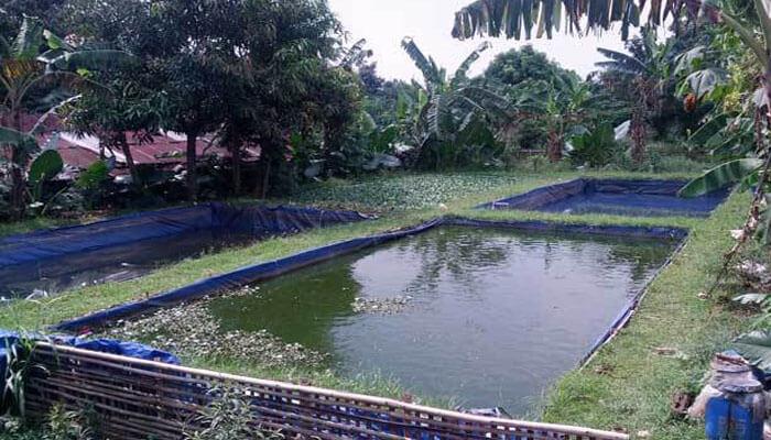 Bagaimana Cara Memulai Budidaya Ikan Nila di Kolam Terpal?