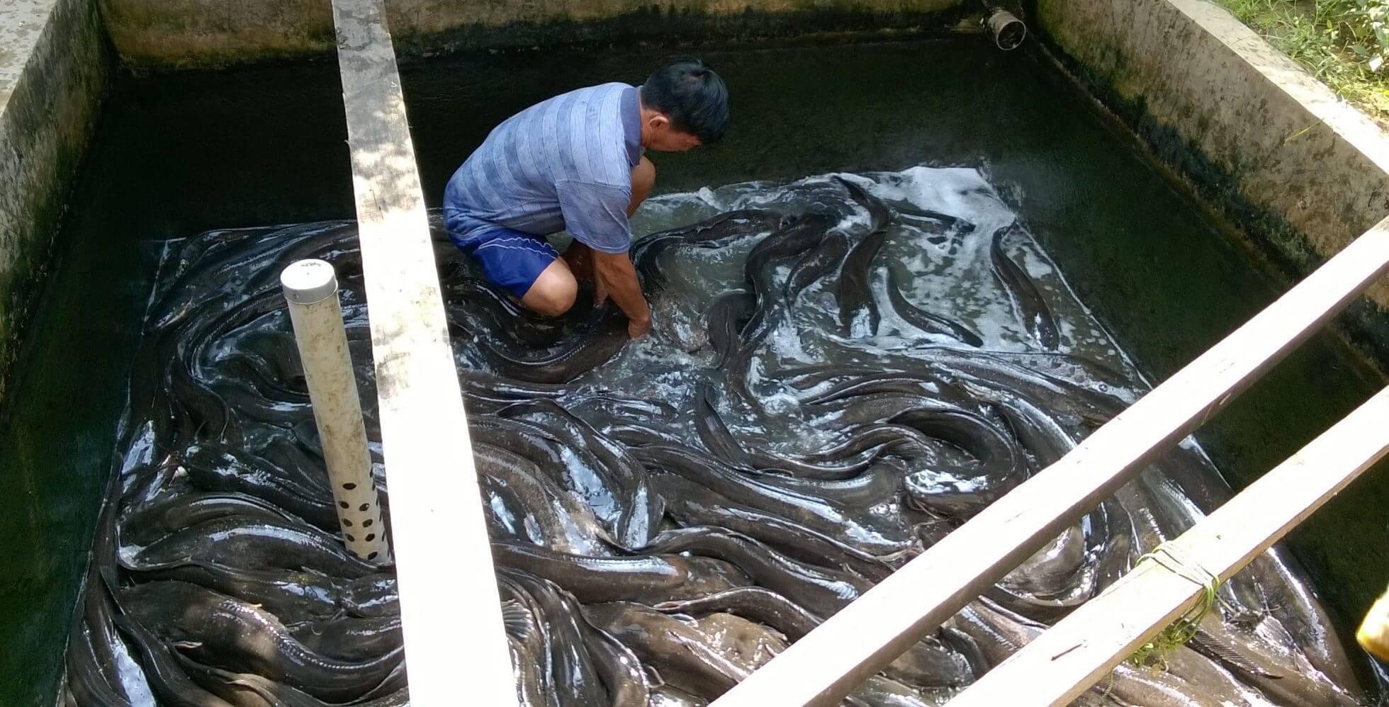 Cara Budidaya Ikan Lele yang Tepat