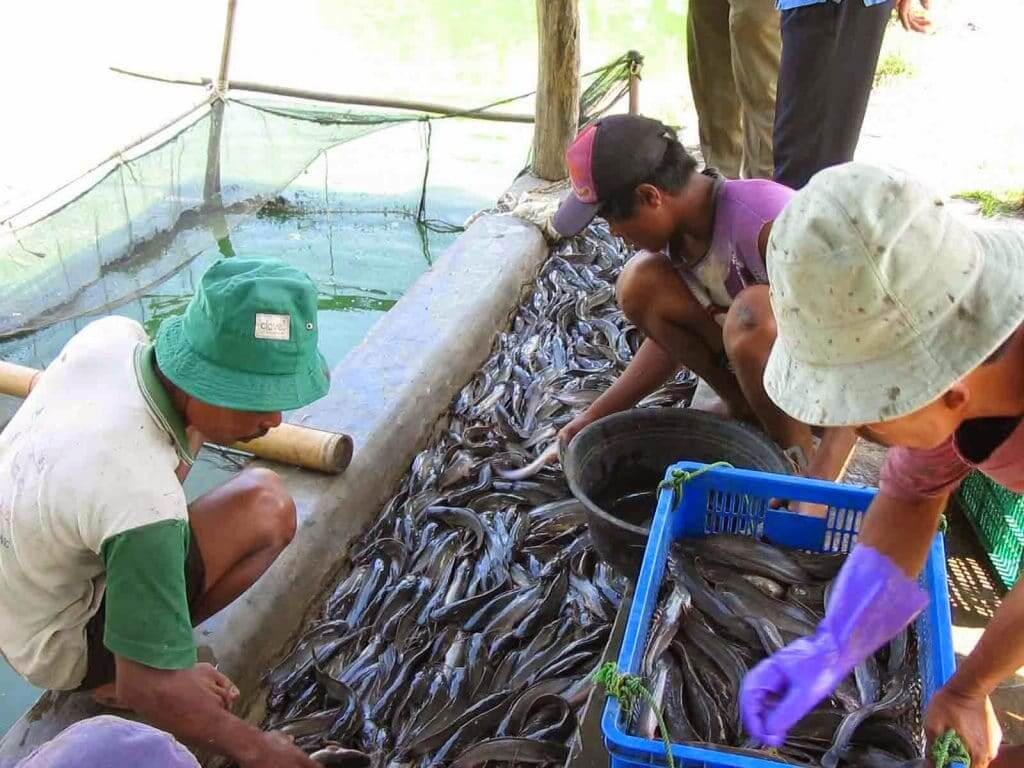 Keuntungan Budidaya Ikan Lele