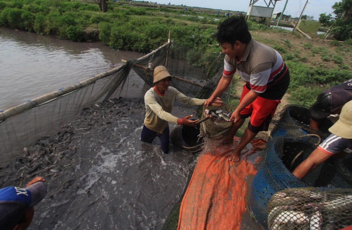Persiapan Kolam Tanah Budidaya Ikan Lele