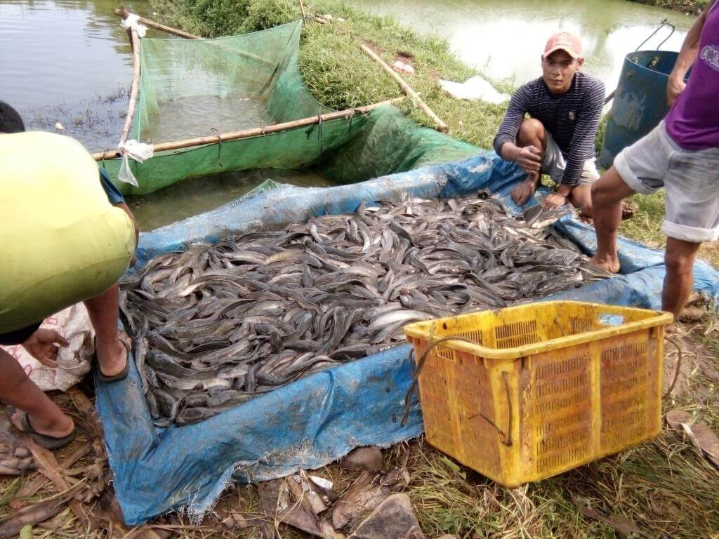 Cara Panen Budidaya Ikan Lele