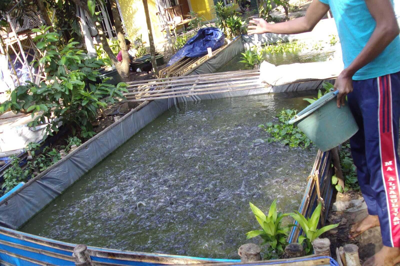 Cara Memilih dan Pemberian Pakan Ikan Lele