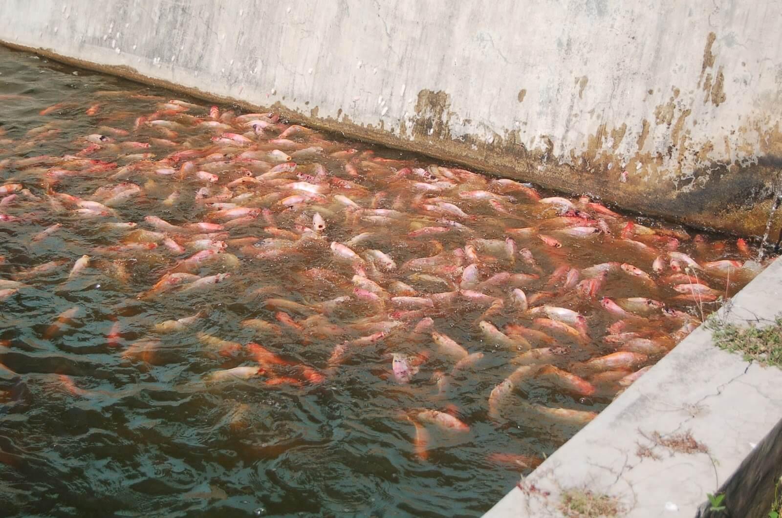Berapa Ukuran Kolam Ikan Nila 1000 Ekor?