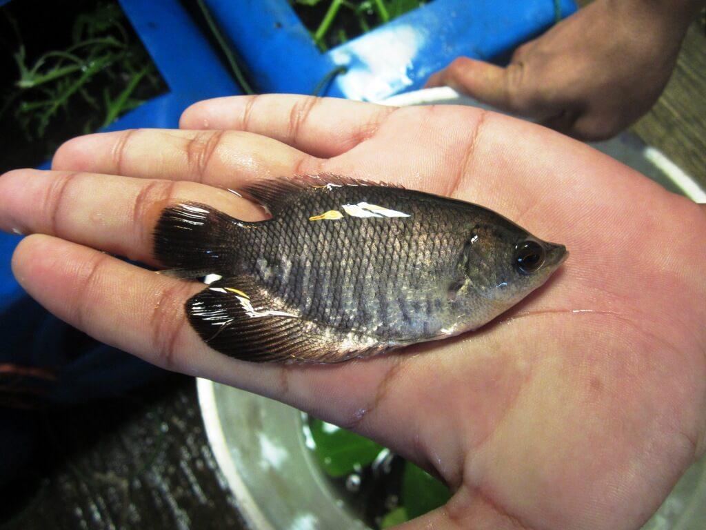 Pemeliharaan Benih Ikan Gurame