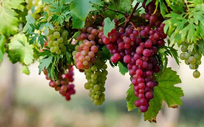 Keuntungan Budidaya Anggur