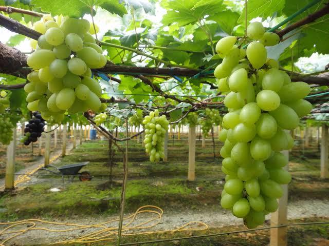Syarat Agar Budidaya Anggur Berhasil