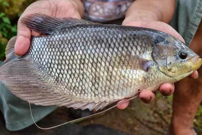 Hasil Maksimal, Cara Budidaya Ikan Gurame agar Cepat Besar