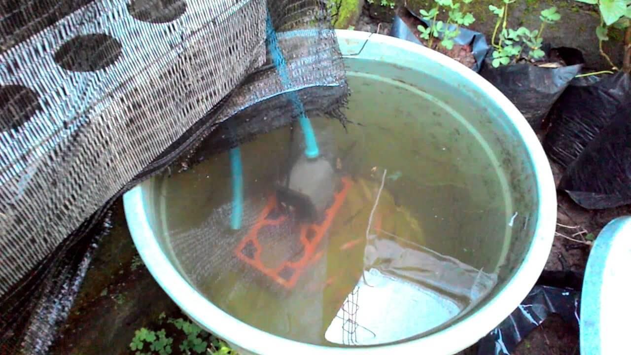 Bagaimana Cara Budidaya Ikan Nila Dalam Ember?