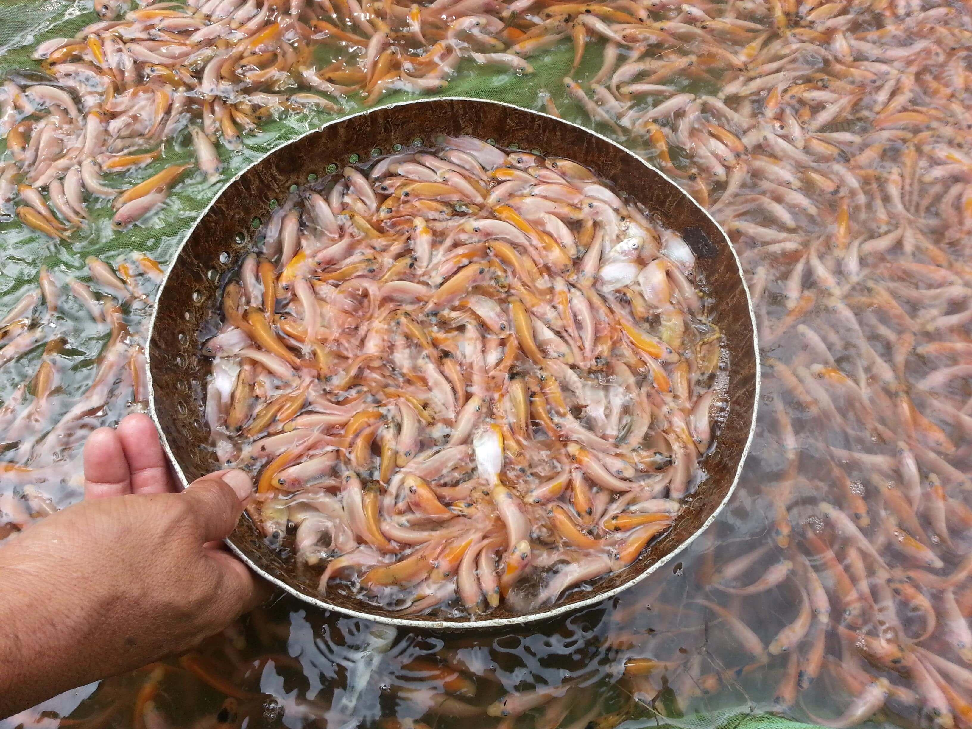 Cara Budidaya Ikan Nila Merah Beserta Keunggulannya