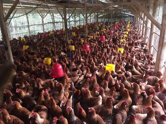 Cara Budidaya Ayam Petelur