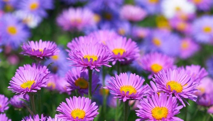 cara budidaya bunga aster