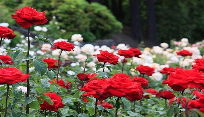 cara budidaya bunga mawar