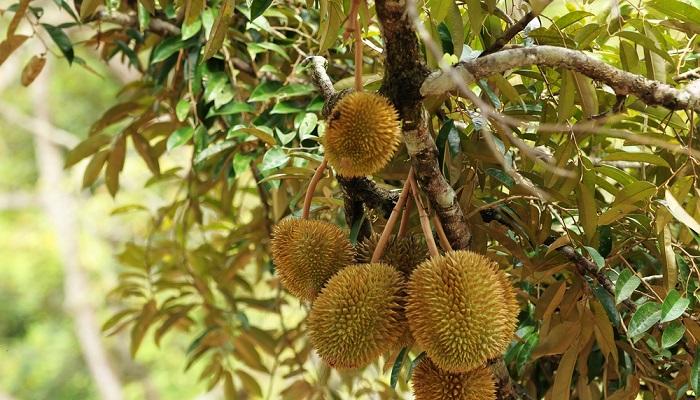 cara budidaya durian