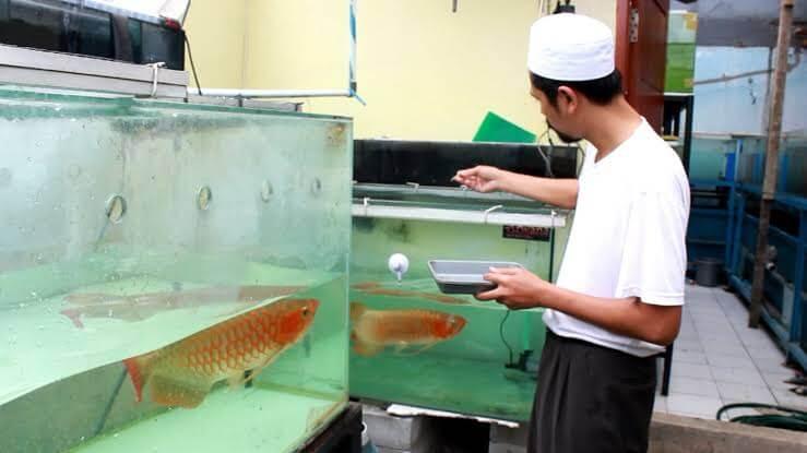 Cara Budidaya Ikan Arwana di Akuarium