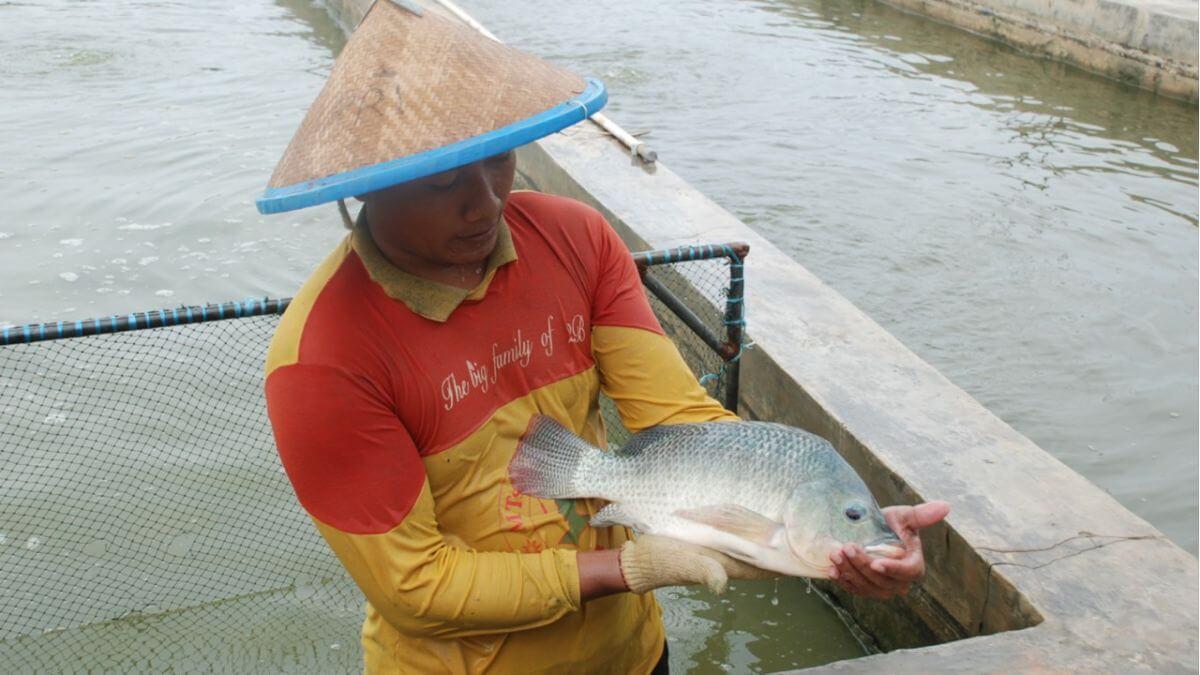 Tips Agar Ikan Nila Cepat Besar
