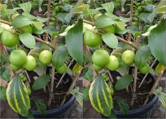 Cara Menanam Apel di Pot atau Polybag