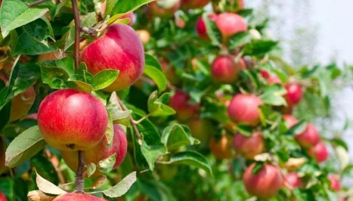 cara menanam apel