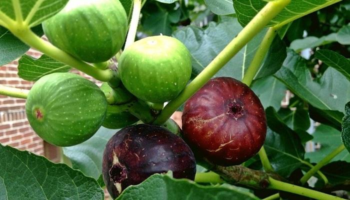 cara menanam buah tin