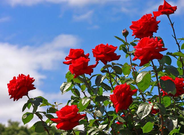 Langkah-Langkah Penanaman Bunga Mawar
