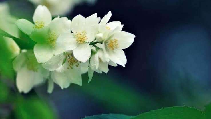 Cara Menanam Bunga Melati