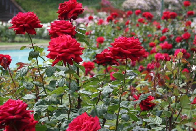 Cara Menanam Bunga Ros