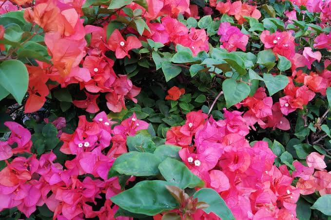 Merawat Tanaman Bunga Kertas Agar Tetap Subur