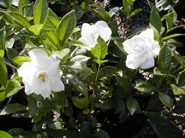 Perawatan Tanaman Bunga Melati