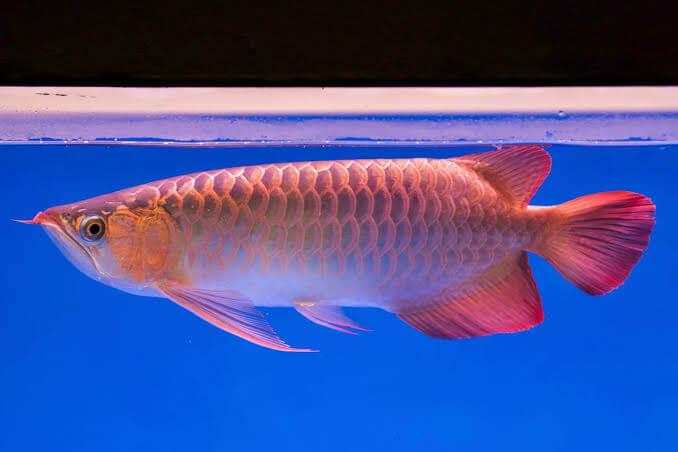 Hal-Hal yang Perlu Diperhatikan Sebelum Memulai Budidaya Ikan Arwana