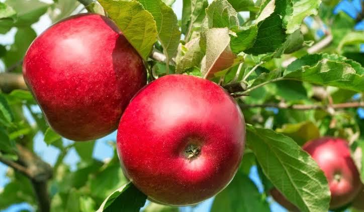 Hal Yang Harus Diperhatikan Saat Menanam Apel