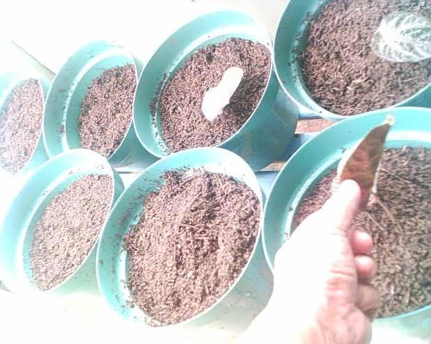 Alat dan Bahan yang Dibutuhkan untuk Pembudidayaan daun sirih