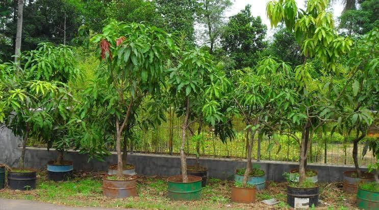 Hal yang Perlu di Perhatikan dalam Menanam Pohon Mangga