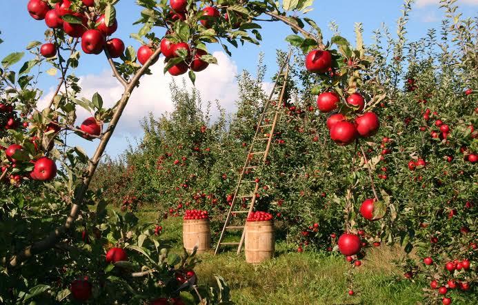 Proses Memanen Apel