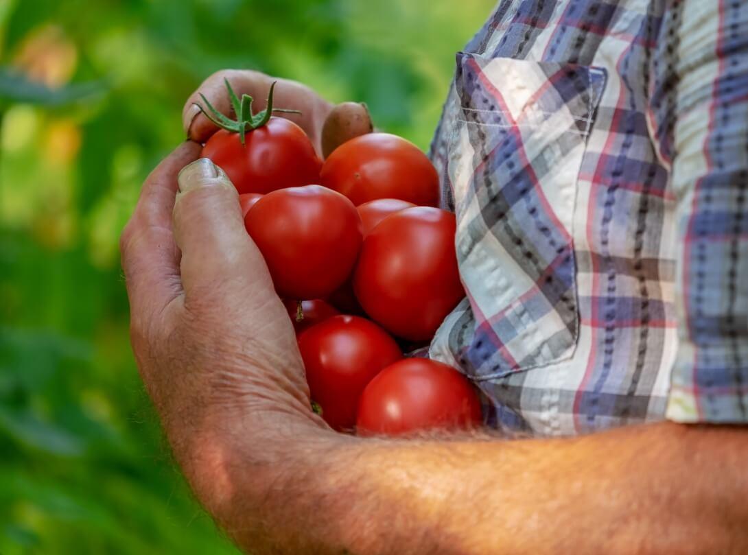 Keuntungan Menanam Tomat dalam Polybag / Pot