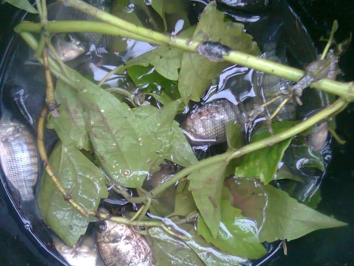 √ Budidaya Ikan Nila Dalam Ember, Solusi untuk Lahan Sempit