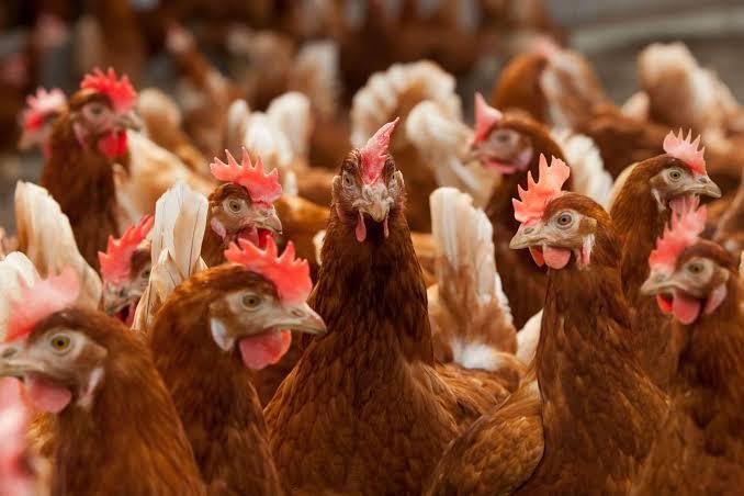 Jenis Ayam Petelur yang Cocok Untuk Dibudidayakan