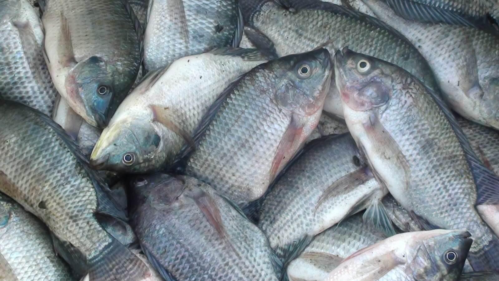Jenis Ikan Nila Dibudidayakan