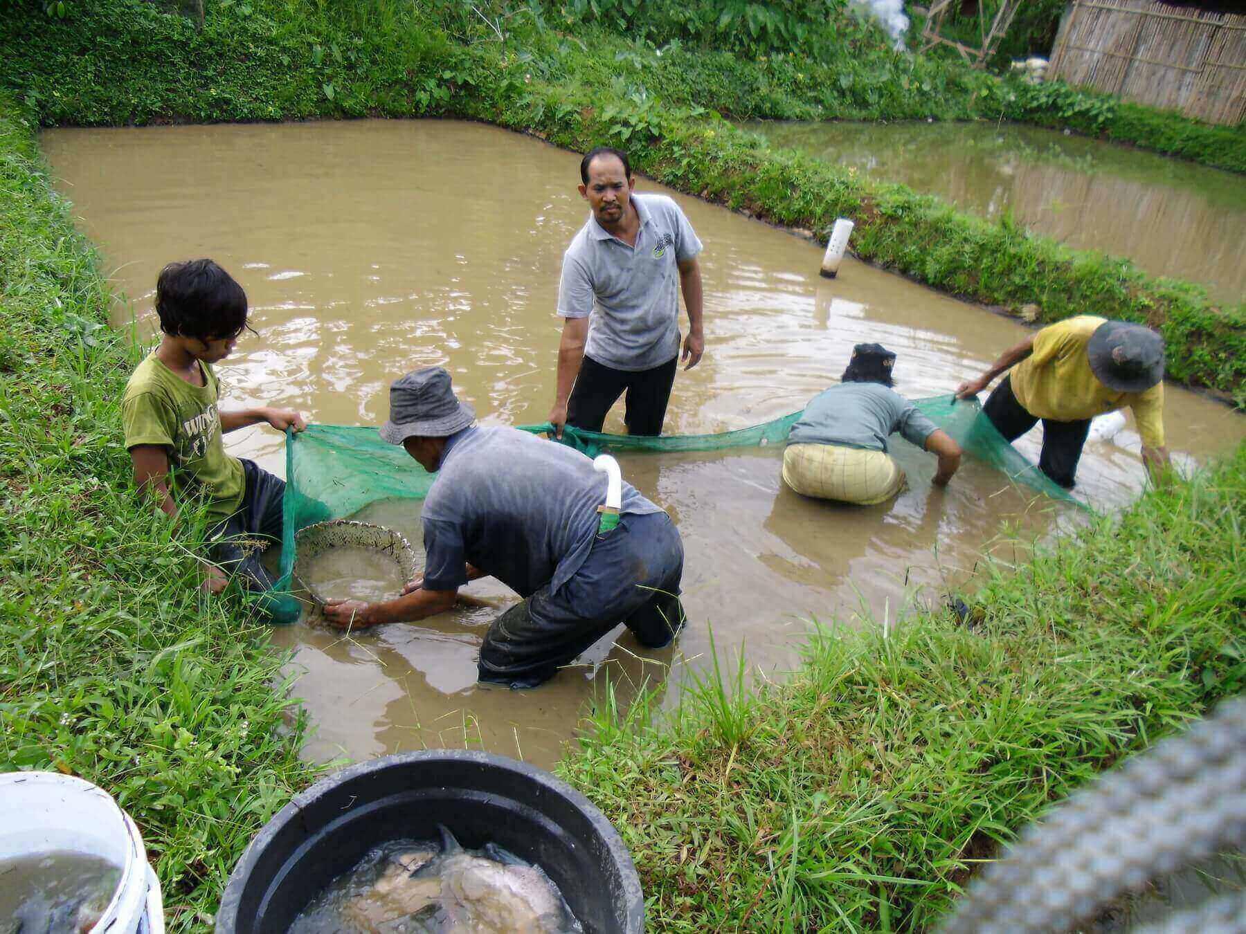 Lokasi Budidaya Ikan Gurame