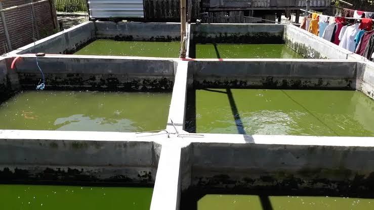 Kekurangan Metode Kolam Tembok dalam Budidaya Ikan Gurame