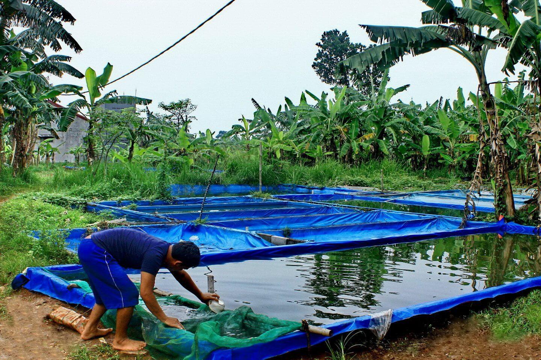Kolam Budidaya Ikan Gurame