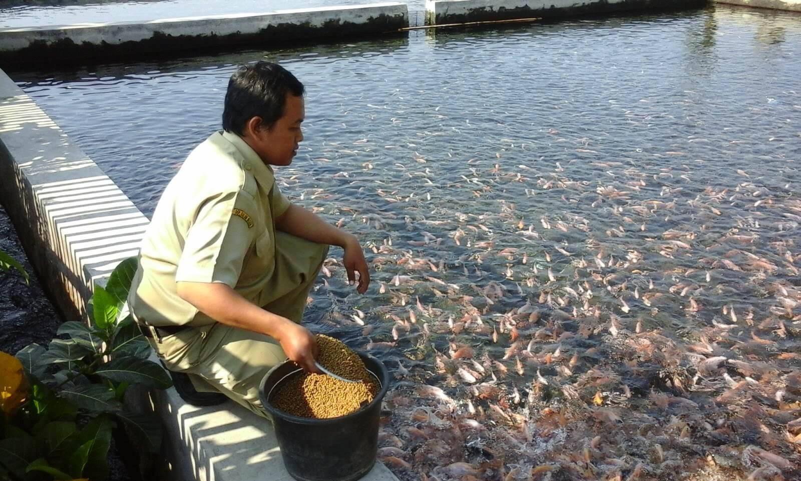 Jenis-jenis Makanan Ikan Nila
