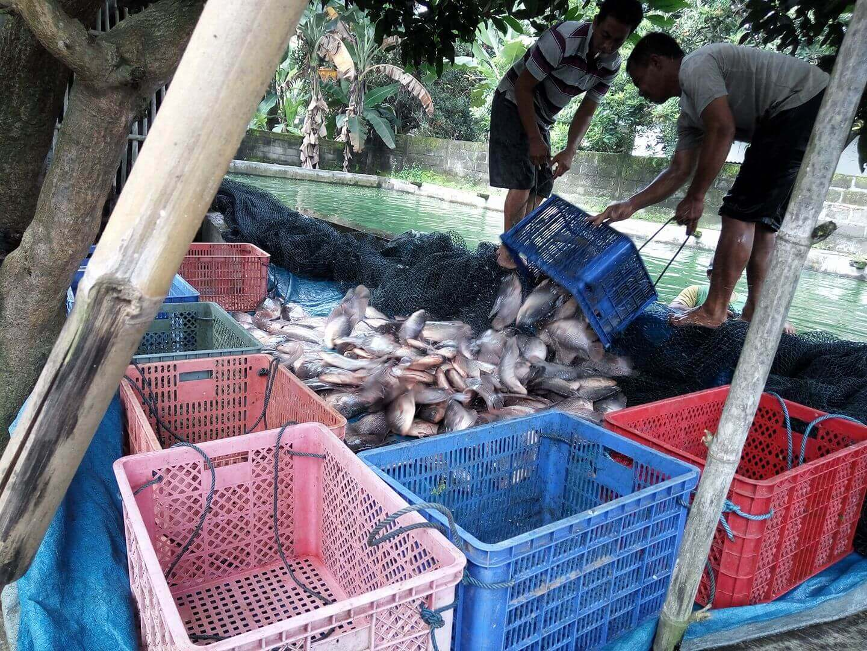 Masa Panen Ikan Gurame