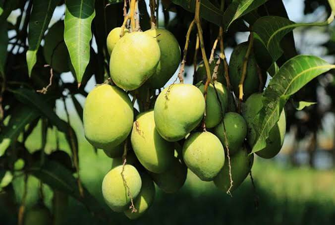 Proses Pemanenan Pohon Mangga