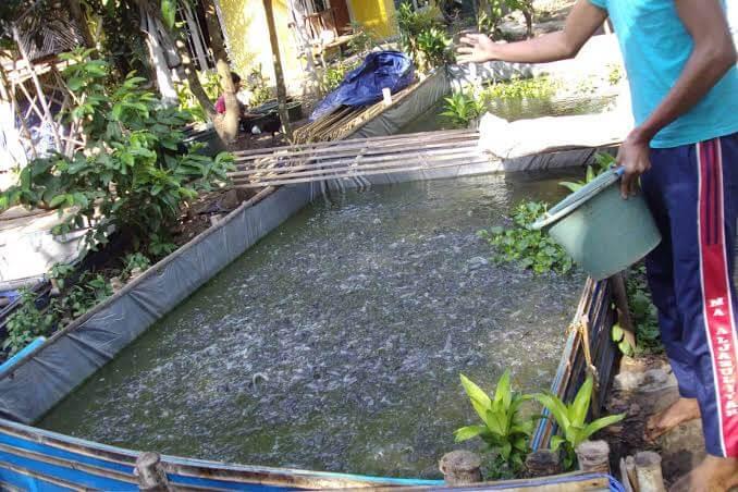 Praktis, Cara Efektif Budidaya Ikan Gurame di Kolam Terpal