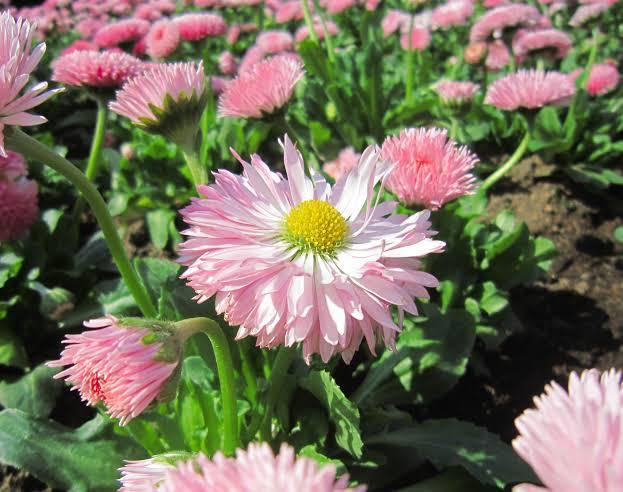 Karakteristik Bunga Aster