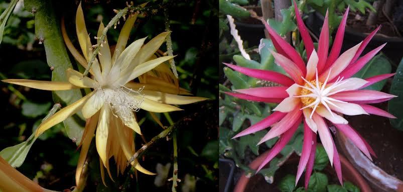 Cara Pembibitan Biasa Bunga Wijaya Kusuma Agar Cepat Berbunga