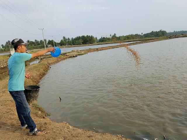Pemberian Pakan dan Pemeliharaan Kolam Budidaya Ikan Gurame
